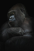 Primate Photos - Shy Gorilla Girl by Joachim G Pinkawa