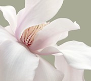 White Magnolias Posters - Shy Magnolia Flower Blossom Poster by Jennie Marie Schell