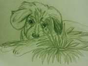Puppy Drawings - Shy Puppy by Christy Brammer