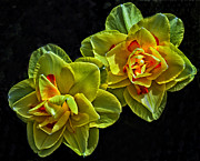 Yellow Daffodils Art Originals - Shy Sister by Boyd Alexander