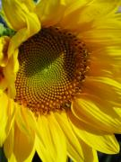 Sunflower Photos - Shy Sunflower by Laura Corebello