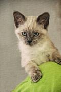Siamese Kitten Print by Kenny Francis