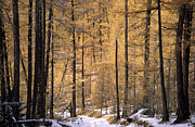 Snowy Trees Prints - Siberian Forest Print by Anonymous