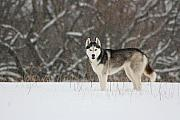 Siberian Husky 20 Print by David Dunham