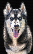 Animal Lover Digital Art - Siberian Husky - A Portrait by Skye Ryan-Evans