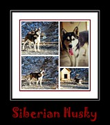 Collage Art Of Dogs Acrylic Prints - Siberian Husky Collage Acrylic Print by Barbara Griffin