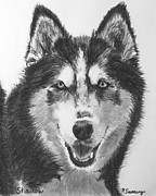 Sled Dog Framed Prints - Siberian Husky Drawing Framed Print by Kate Sumners