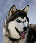 Husky Posters - Siberian Husky Poster by Linsey Williams