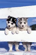 Rolf Kopfle - Siberian Husky Puppies