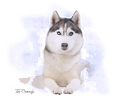 Husky Mixed Media Posters - Siberian Husky Poster by Tori Beveridge