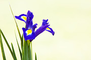 Anther Framed Prints - Siberian Iris Framed Print by Tim Gainey