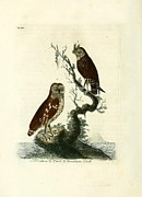 Audubon Drawings Posters - Siberian Owl and Acadian Owl Poster by Philip Ralley