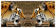 Prison Stripes Framed Prints - Siberian tiger double portrait face to face Framed Print by Tommy Hammarsten