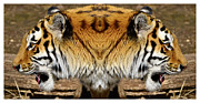 Prison Stripes Framed Prints - Siberian tiger double portrait  Framed Print by Tommy Hammarsten