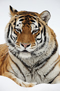 Alex Sukonkin Framed Prints - Siberian Tiger in a snow Framed Print by Alex Sukonkin