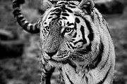 Cat Face Prints - Siberian Tiger Monochrome Print by Semmick Photo