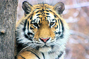 Nick Gustafson Art - Siberian Tiger by Nick Gustafson