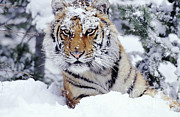 Tom and Pat Leeson - Siberian Tiger
