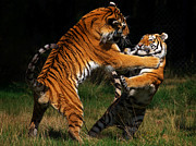 Nick  Biemans - Siberian Tigers in fight