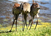 Cranes Prints - Sibling Rivalry 2 Print by Carol Groenen