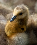 Ducklings Framed Prints - Siblings Framed Print by Sabine Edrissi
