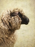 Curly Photos - Side Face Of A Sheep by Priska Wettstein