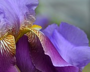 Purple Iris Photos - Sideways 2 by Fraida Gutovich