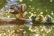 Mallard Ducklings Photos - Siesta by Mircea Costina Photography