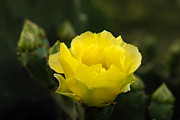 Cactus Flowers Photos - Sign of Spring by Bill Morgenstern