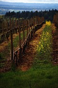 Pinot Noir Photos - Signs of spring at Knights Gambit by CJ Lesieutre
