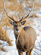 Natural Focal Point Photography - Sika Deer in Hokkaido...