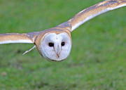 Barn Owl Prints - Silent Approach Print by Randy Hall