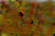 Dan Friend - Silhouette crows flying