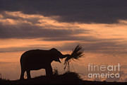 Samuel R Maglione - Silhouette Of An Asian Elephant Eating