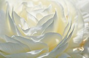Silk Cream Floral Print by Elaine Manley