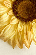 Large Sunflower Posters - Silky Sun Poster by Margie Hurwich