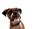 Veterinary Prints - Silly Boxer Dog Print by Stephanie McDowell