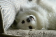 Nicki Bennett - Silly Miniature America Eskimo
