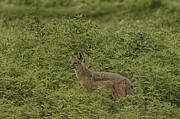 Gary Hall - Silver-backed Jackal