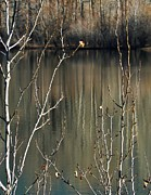 Copyright Protected. Prints - Silver Birch Print by Barbara St Jean