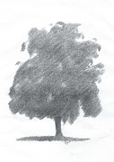 Alan Daysh - Silver Birch Drawing...
