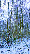Jason Christopher - Silver Birch in Snow