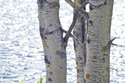 Birches Framed Prints - Silver birch trees at a sunny lake Framed Print by Heiko Koehrer-Wagner