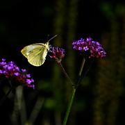 Byron Varvarigos - Silver Butterfly Purple Flower