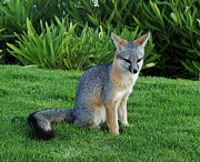 Jan Moore - Silver Fox on the Grass