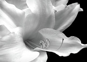 White Flower Photos - Silver Lily Flower  by Jennie Marie Schell