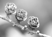 Tree Roses Photos - Silver Lining.... by Nina Stavlund