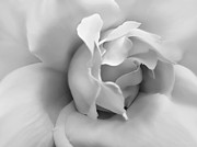Silver And Black Prints - Silver Rose Flower Print by Jennie Marie Schell