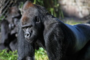 Wingsdomain Art and Photography - Silverback Gorilla 5D27057