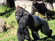 Wingsdomain Art and Photography - Silverback Gorilla 7D27234
